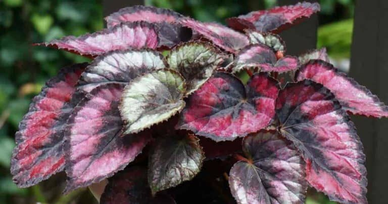 Painted Leaf Begonia Care Tips For Growing Rex Begonia Details