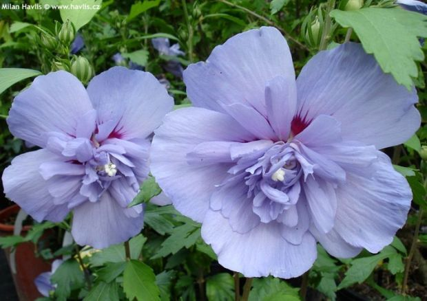 hibiscus mauvelous - Google Search | Flowers | Pinterest | Hibiscus ...