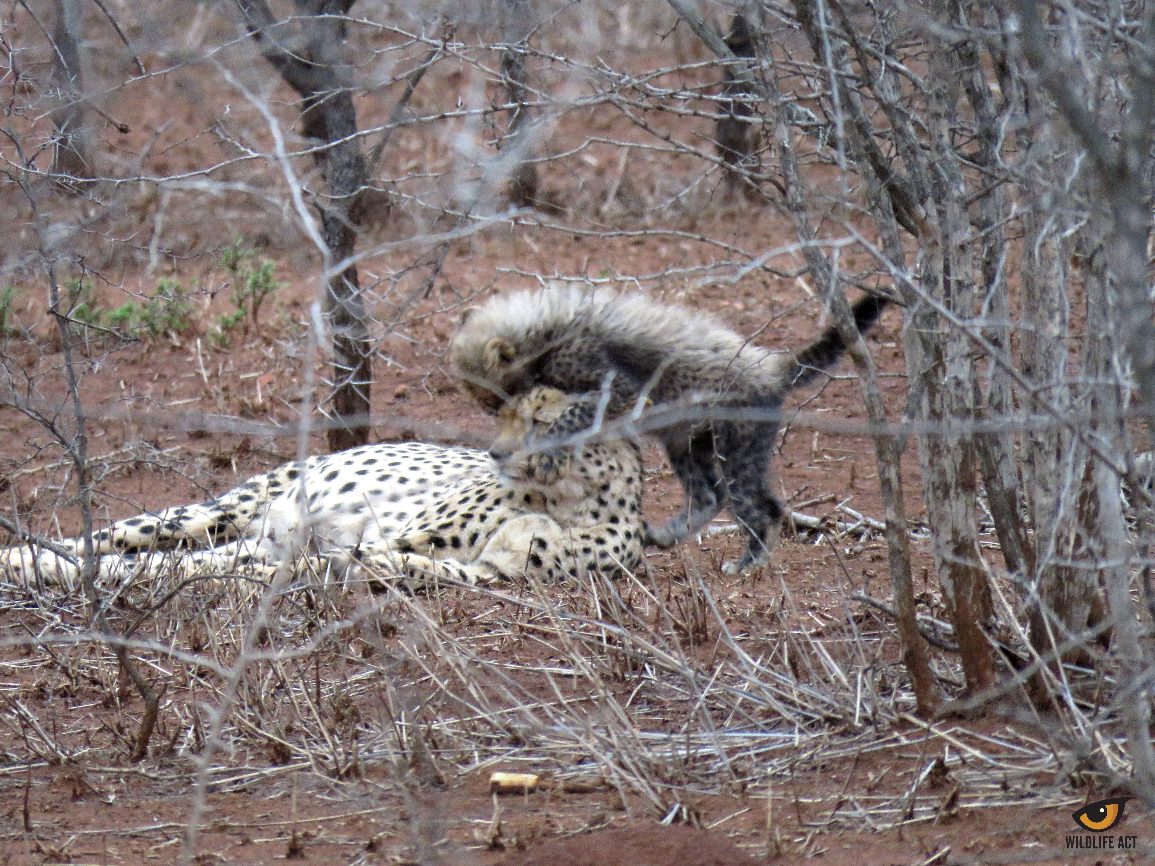 Wildlife conservation volunteering in africa africa