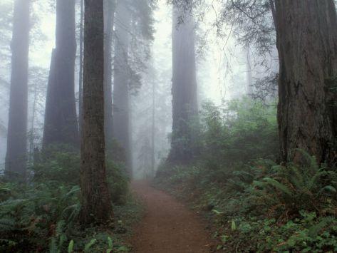 Damnation Trail in Fog, Redwoods State Park, Del Norte, California, USA