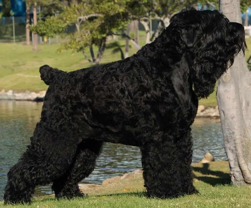 Large Dog Breeds Black Russian Terrier Large Dog Breeds Dog Breeds Black Russian Terrier