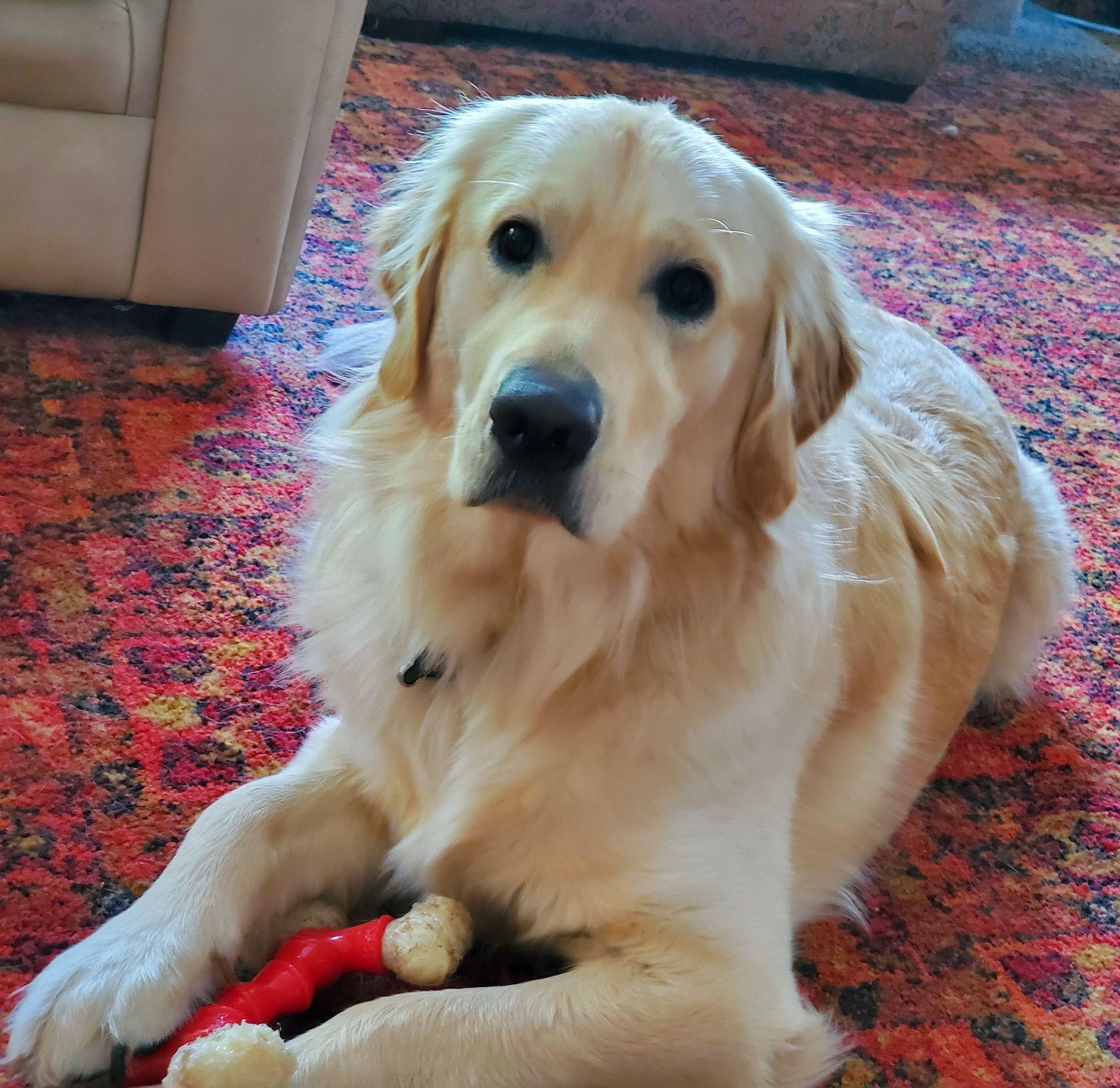 Joe Being Very Handsome Goldenretriever Cute Dogs Dogs Golden