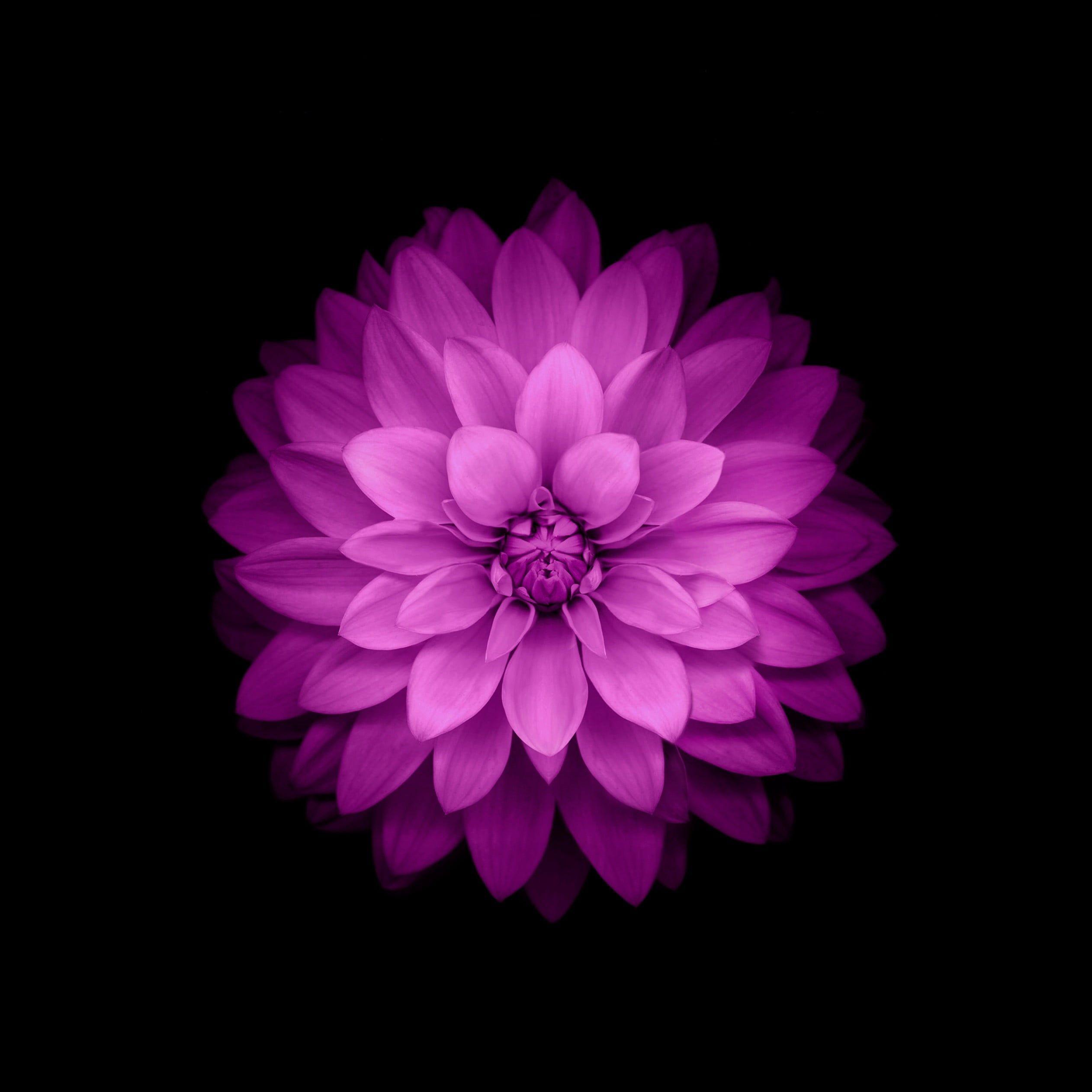 Purple Dahlia Flower Ios Wallpaper Purple Petaled Flower In Dark Room Flowers Purple In 2020 Flower Iphone Wallpaper Purple Flowers Wallpaper Iphone 6 Plus Wallpaper