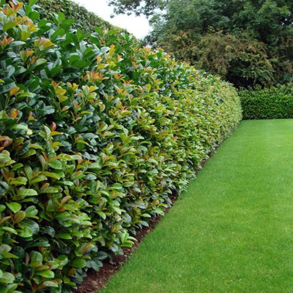 Laurel etna hedge plants prunus laurocerasus hedge for Garden hedge designs