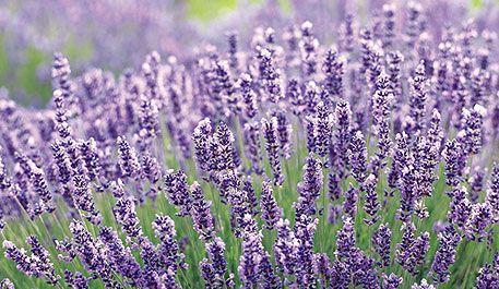 Propagating lavender - Propagating pointers - Herb Gardening - Gardens - Canadian Gardening