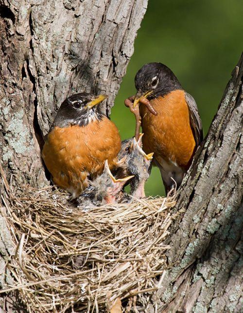 Mama Birds Feeding Baby Birds 8 Heart Warming Photos Wild Birds