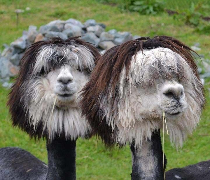 The Most Fabulous Alpacas Hairstyles Ever Cute Animals Funny