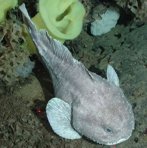 Рыба капля австралийский бычок рыба жаба blobfish psychrolutes
