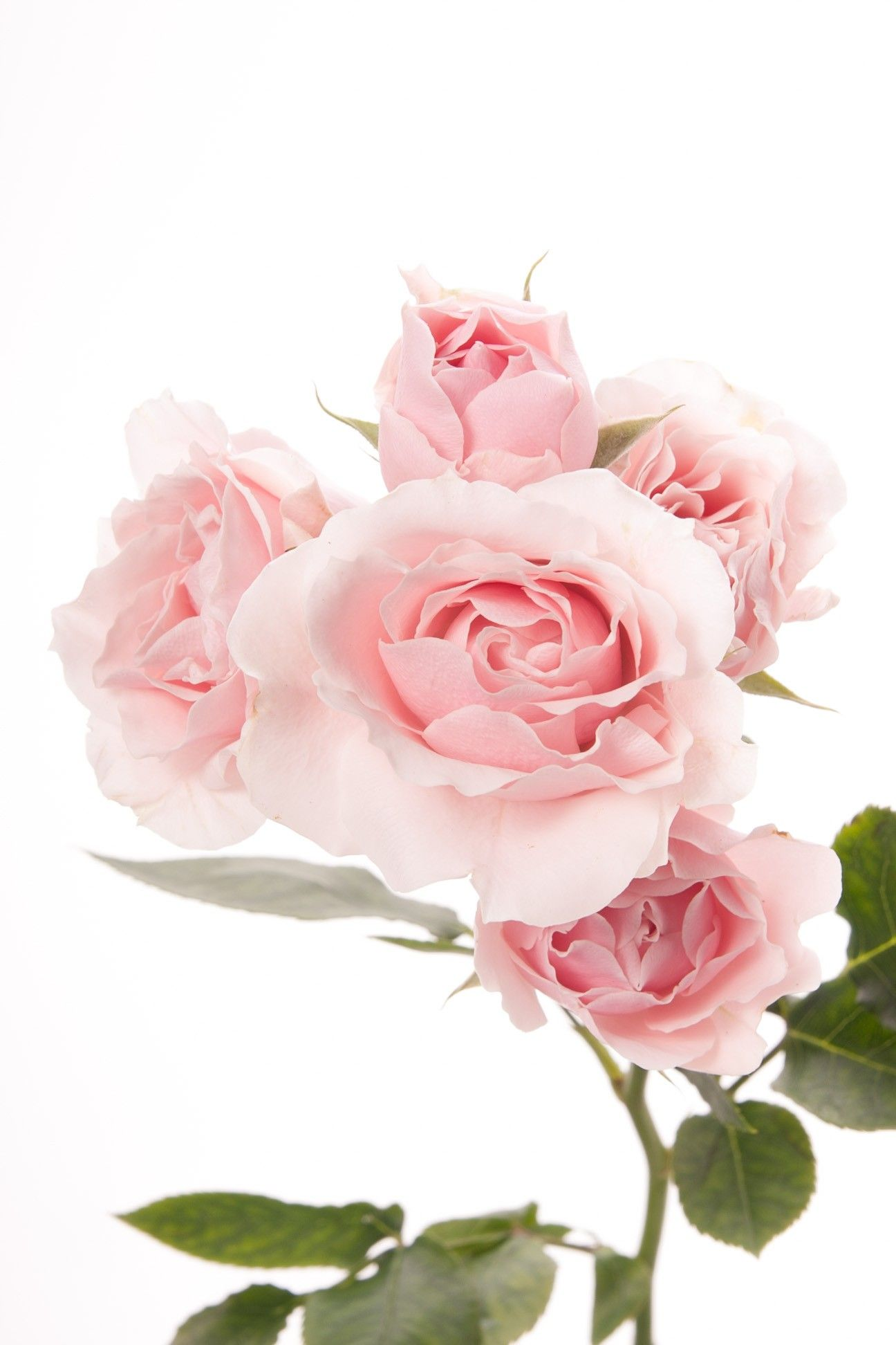 Rose Meanings Explained Light Pink Flowers Spray Roses