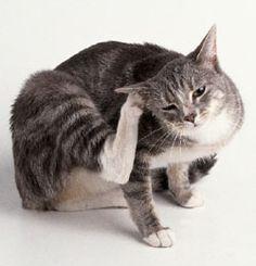 How To Get Rid Of Cat Ear Mites Cat Ear Mites Cat Fleas