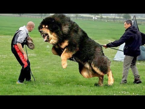 Top 10 Biggest Guard Dogs In The World 2016 Download Play Online