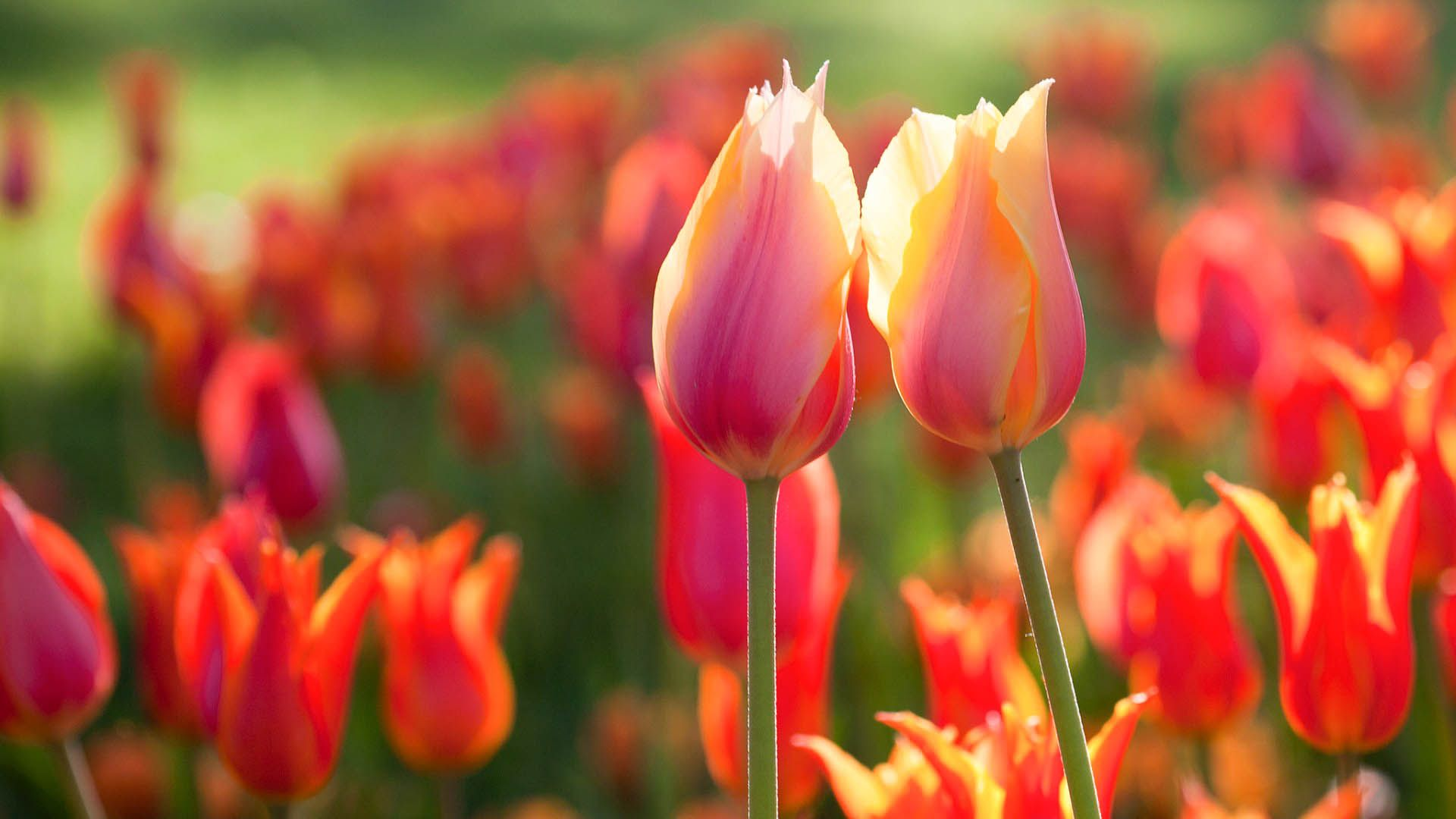 Tulip Flower High Resolution Hd Wallpapers 2015 All Hd Wallpapers Tulips Flowers Orange Tulips Flowers