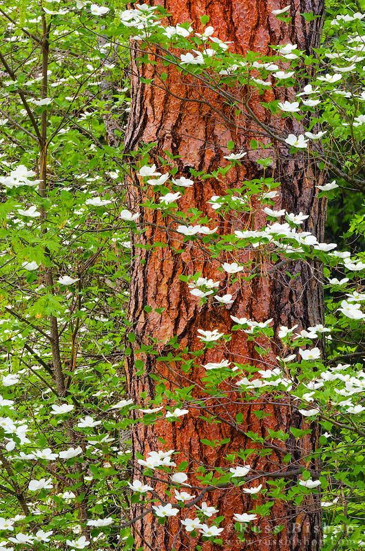 Spring - Mountain Dogwood (Cornus nuttallii),  Yosemite National Park, California   Russ Bishop