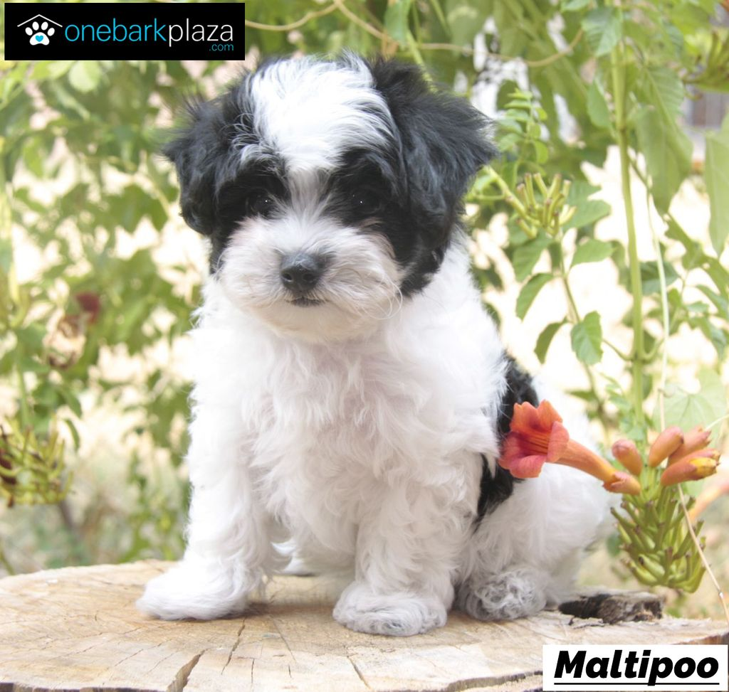 Cute Small Dogs Like Maltipoos Are Always Popular A Maltipoo Is