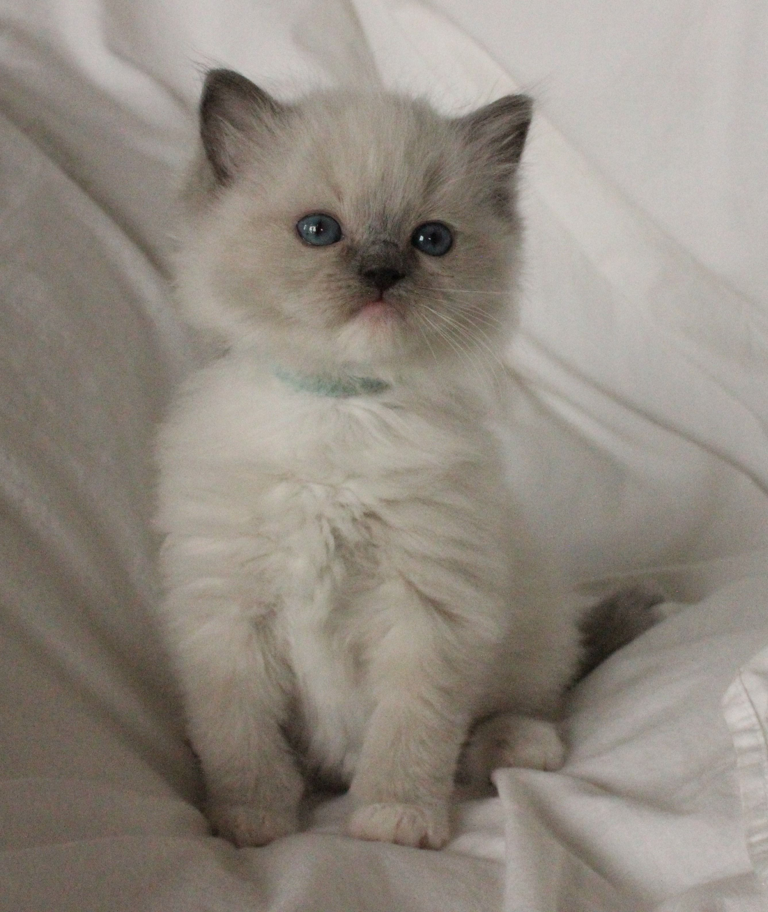 Blue Mitted ragdolls Ragdoll kittens for sale, Ragdoll