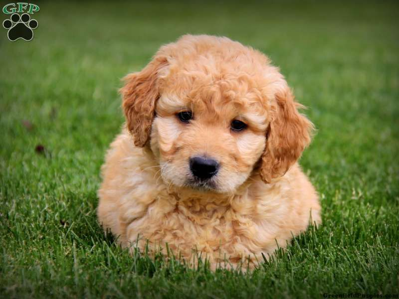 Buddy Mini Goldendoodle Puppy For Sale From Gordonville Pa
