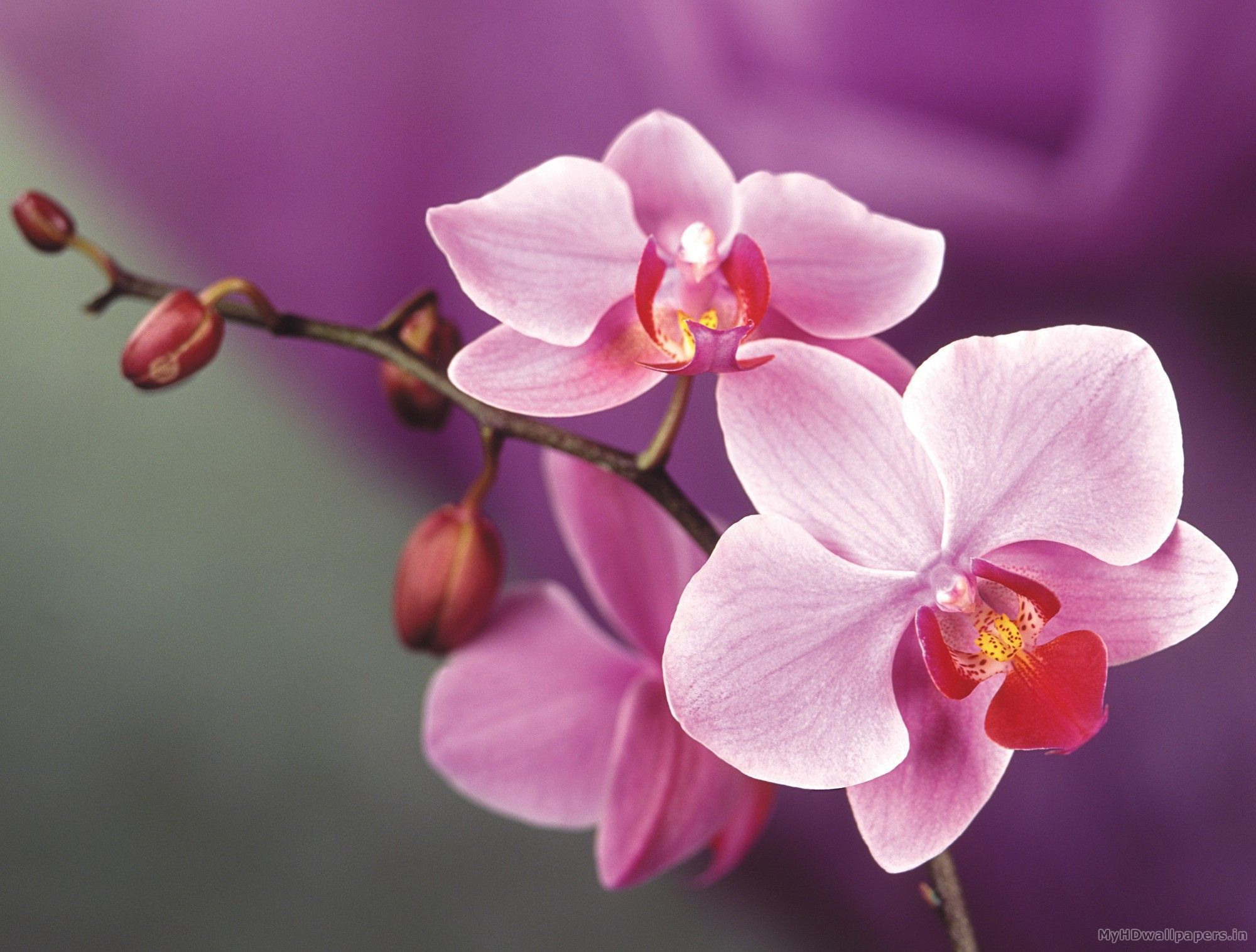 Wallpapers For Pink Orchid Wallpaper Orchid Wallpaper