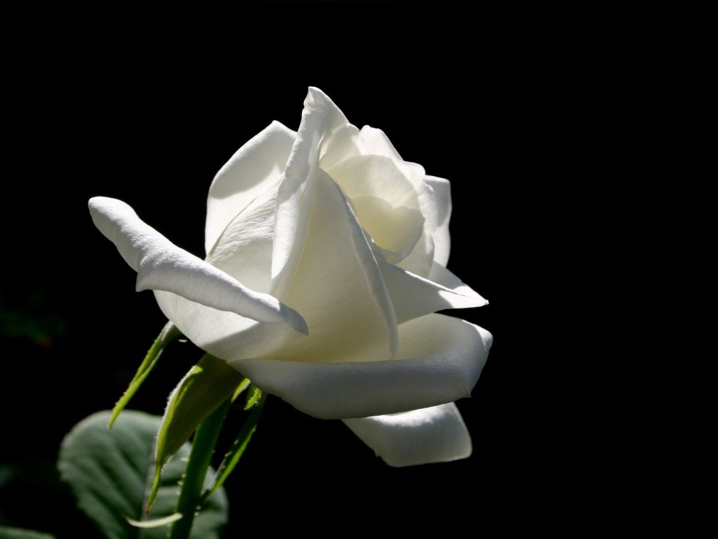 White Rose The White Rose On A Black Background Black Flowers