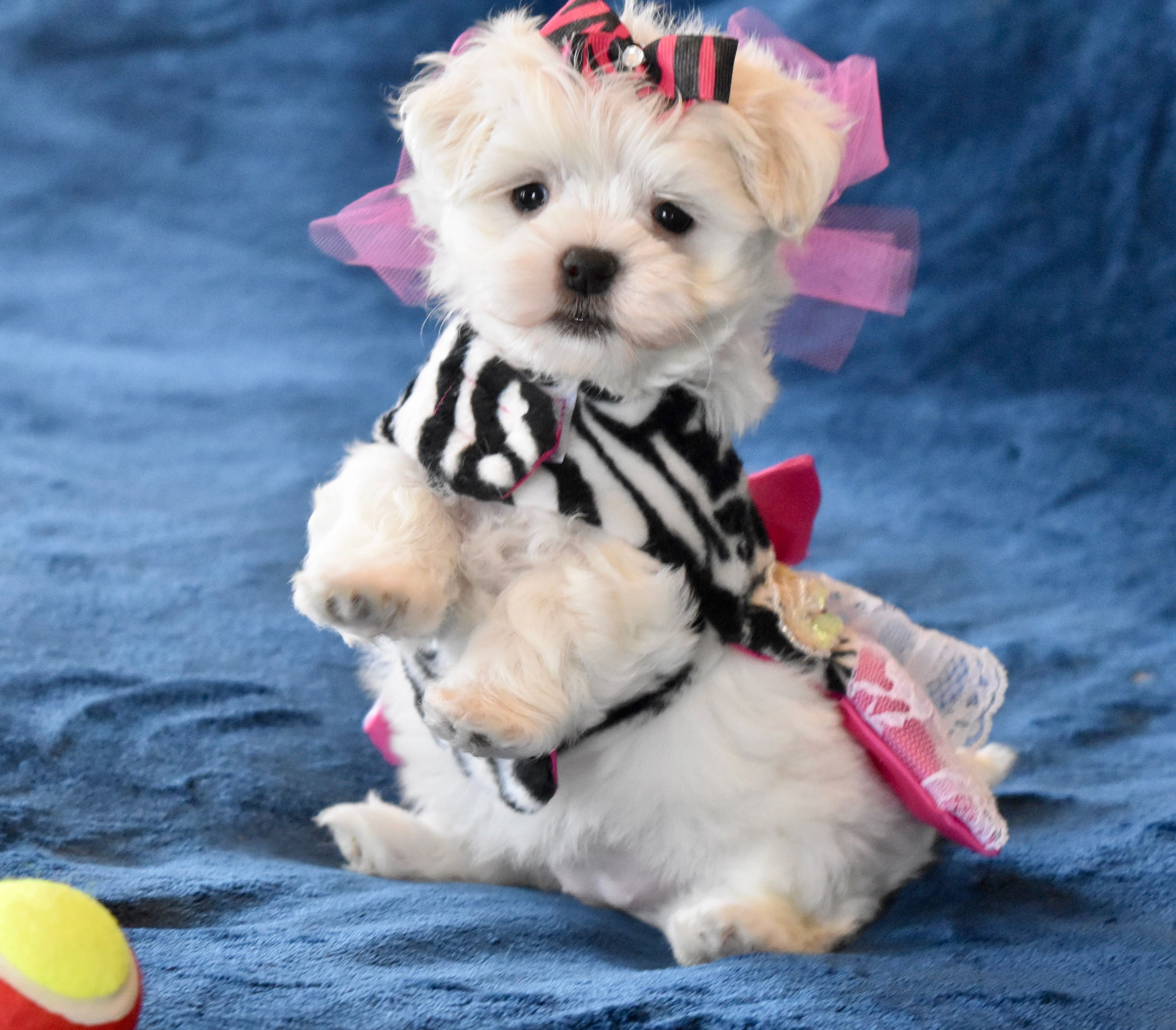 Www Texasteacuppuppy Comthis Is Baby Maltese Girl Posh Located In The Dallas Texas Area Baby Maltese Maltipoo Puppy Yorkie