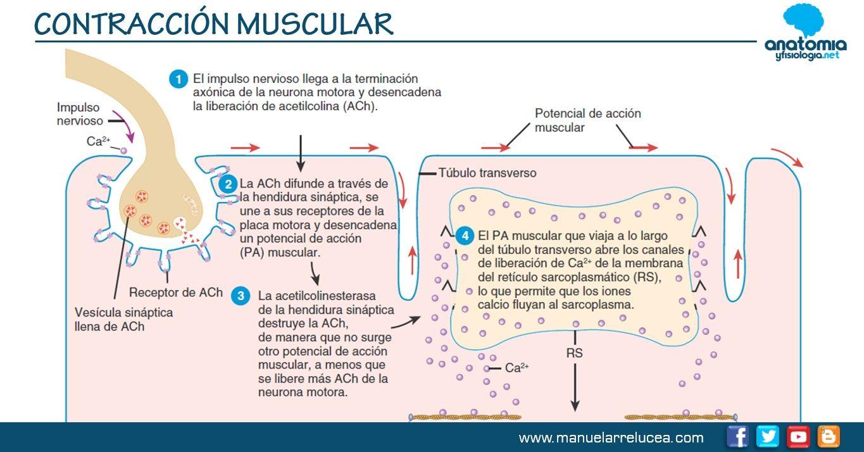 Resultado De Imagen Para Contraccion Muscular Contracción