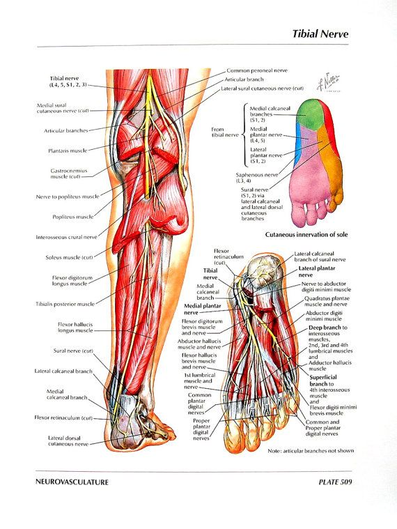 Anatomy Print Tibial Nerve Common Peroneal By Mysunshinevintage