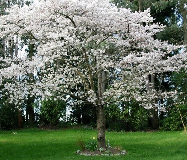 404 Not Found Flowering Cherry Tree Flowering Pear Tree Japanese Cherry Tree