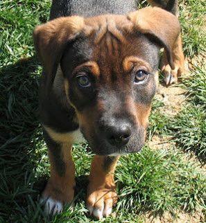 Adorable pit rottweiler mix | *Mwa* | Dogs, Pitbull mix ...