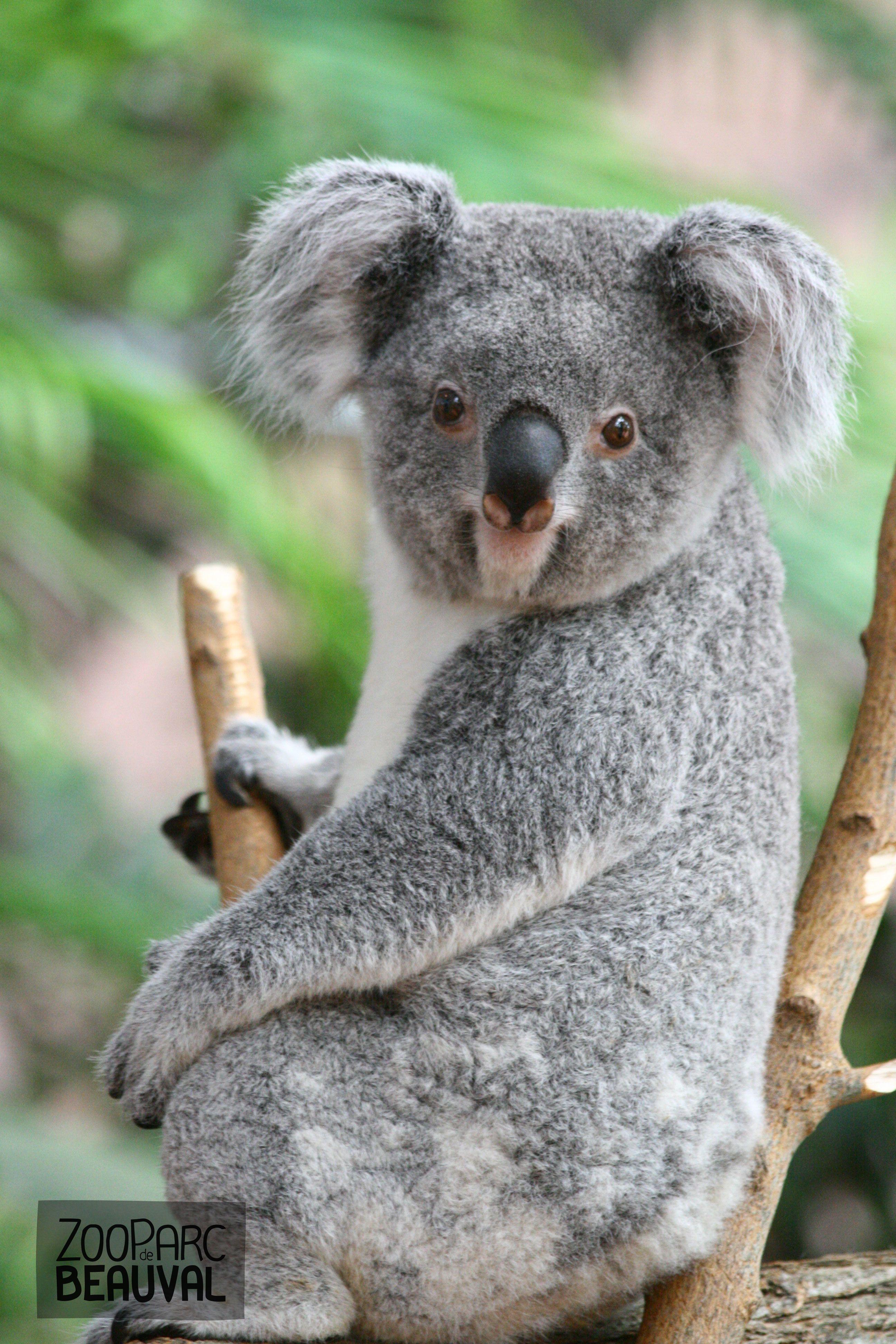 Small Animal Reptiles And Amphibian Habitats: Koala Au ZooParc De Beauval