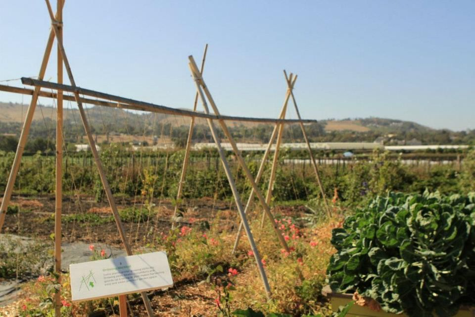 Bamboo bean tunnel framing a view of South Coast Farms - 2012 Farm ...