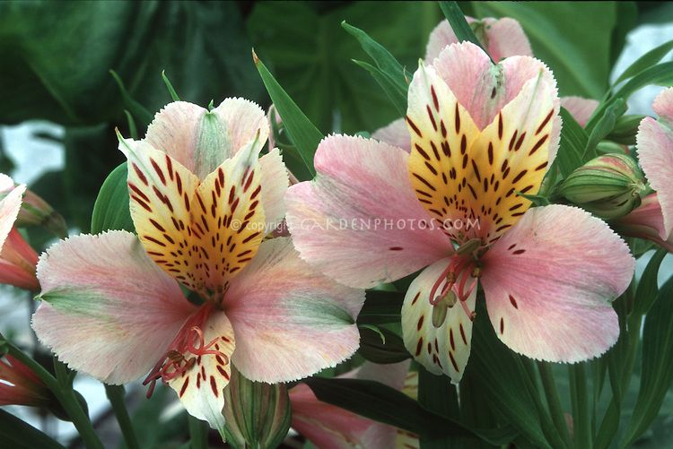 Alstroemeria Diana Princess Of Wales Summer Flowering Bulb Peruvian Lilies Alstroemeria Summer Flowering Bulbs