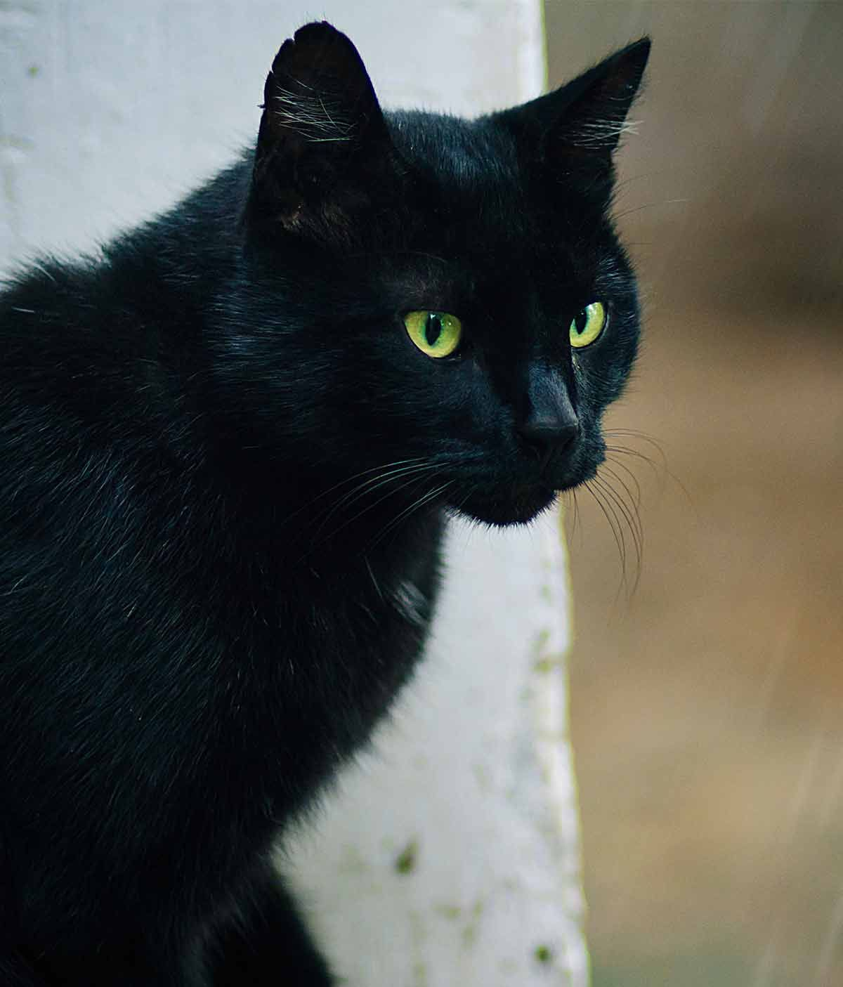 Are Bombay Cats Hypoallergenic Will They Shed Bombay Cat Cats Types Of Cats Breeds