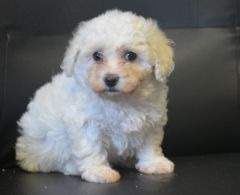 Pedigree Bichon Frise Boys And Girls Puppies For Sale Bichon