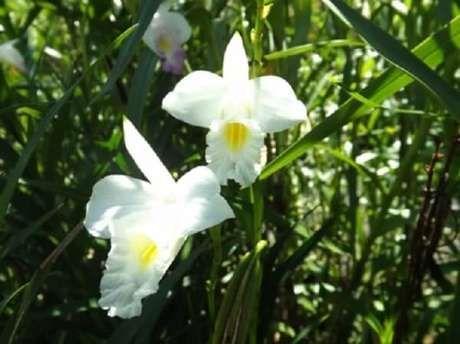 10. A orquídea bambu branca é delicada. Fonte: Pinterest