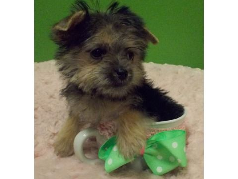Gorgeous Yorkies Morkie Puppies Available Right Now At Vanity