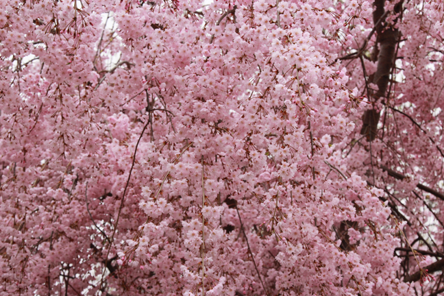 Weeping flowering cherry tree pretty in pink flora fauna presented to you by the unequaled mother nature the japanese weeping cherry tree the weeping cherry tree called a shid mightylinksfo Images