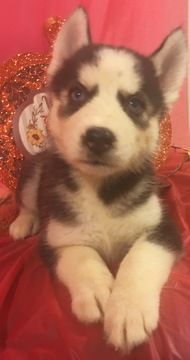 Litter Of 9 Siberian Husky Puppies For Sale In Inman Sc Adn 44670 On Puppyfinder Com Gender Female Age 6 Weeks Husky Puppies For Sale Husky Siberian Husky