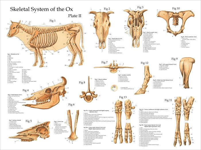 Oxcow Skeletal Anatomy Poster 18 X 24 Medical Information For