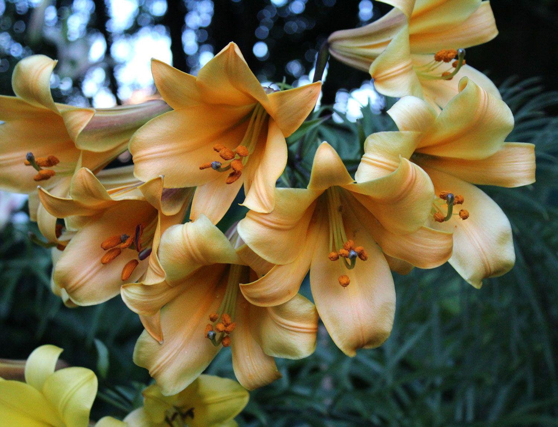 lilyafricanqueen Summer lily, Peach flowers, Oriental lily