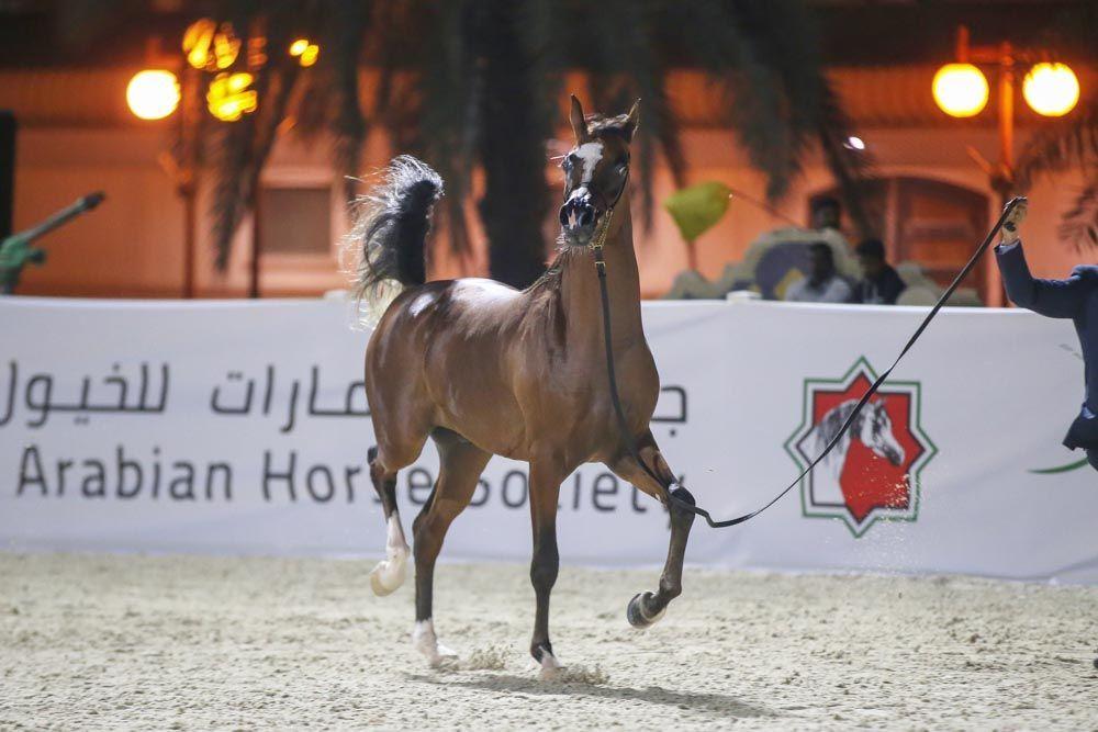 النتائج النهائية لبطولة الإمارات لمربي الخيول العربية 2019 Horses Arabian Horse Animals