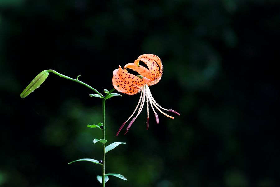 Tiger lily by LEE INHWAN, via 500px