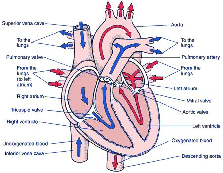 Heart diagram project free download wiring diagrams heart diagram hemodynamic project pinterest heart diagram heart diagram project 17 at heart valves diagram project ccuart Image collections