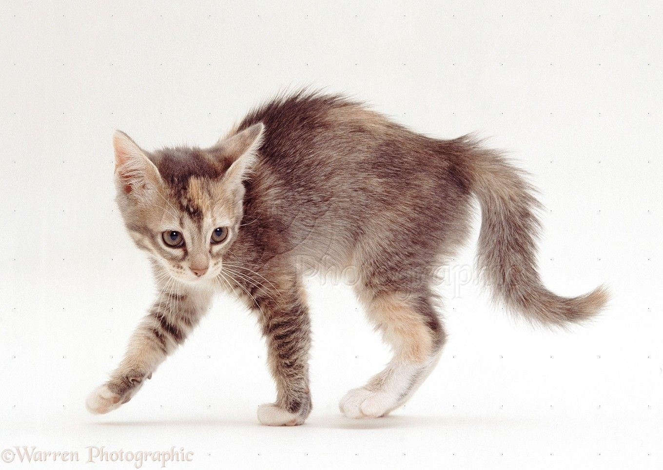 19147 Kitten In Witchs Cat Display During Play White Background Jpg 1360 964 Inspirational Cats Cats Cute Animals