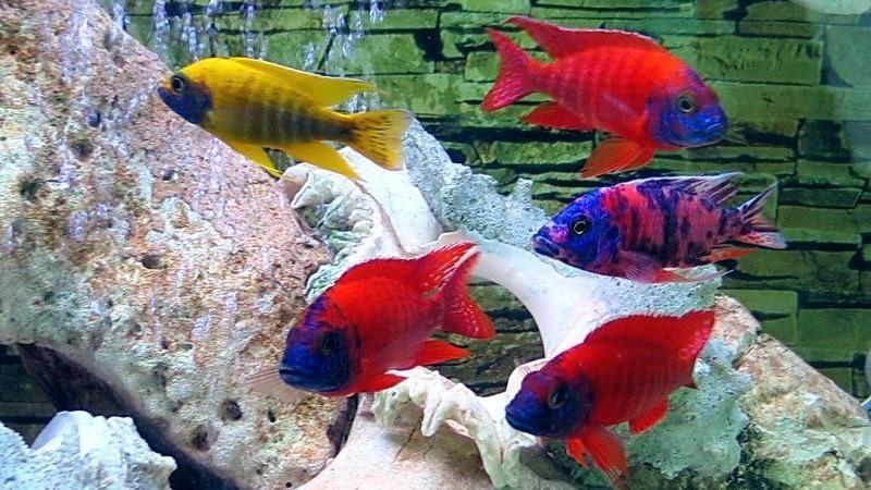 Аулонокары (Aulonocara) в аквариуме