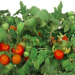 Red Heirloom Cherry Tomato Seed Pod Kit 7 Pod Growing 400 x 300