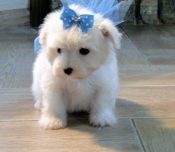 Maltese Puppies For Sale Uk Zoe Fans Blog