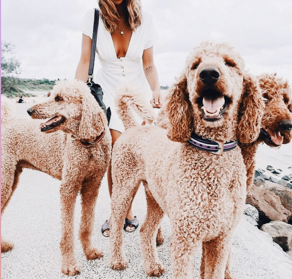 Iŋɬɛཞɛʂɬ Alyssa Libo Poodlepuppy Puppies Dogs Pets