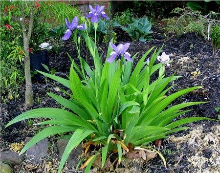 1ft Tall 2 Ft Wide Japanese Roof Iris From 1 Gallon Plants Shade Garden Garden