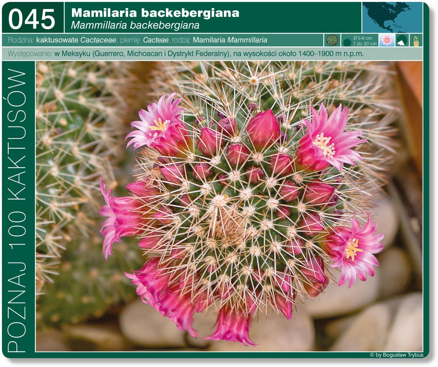 Mammillaria Backebergiana Plantas Suculentas Plantas Suculentas