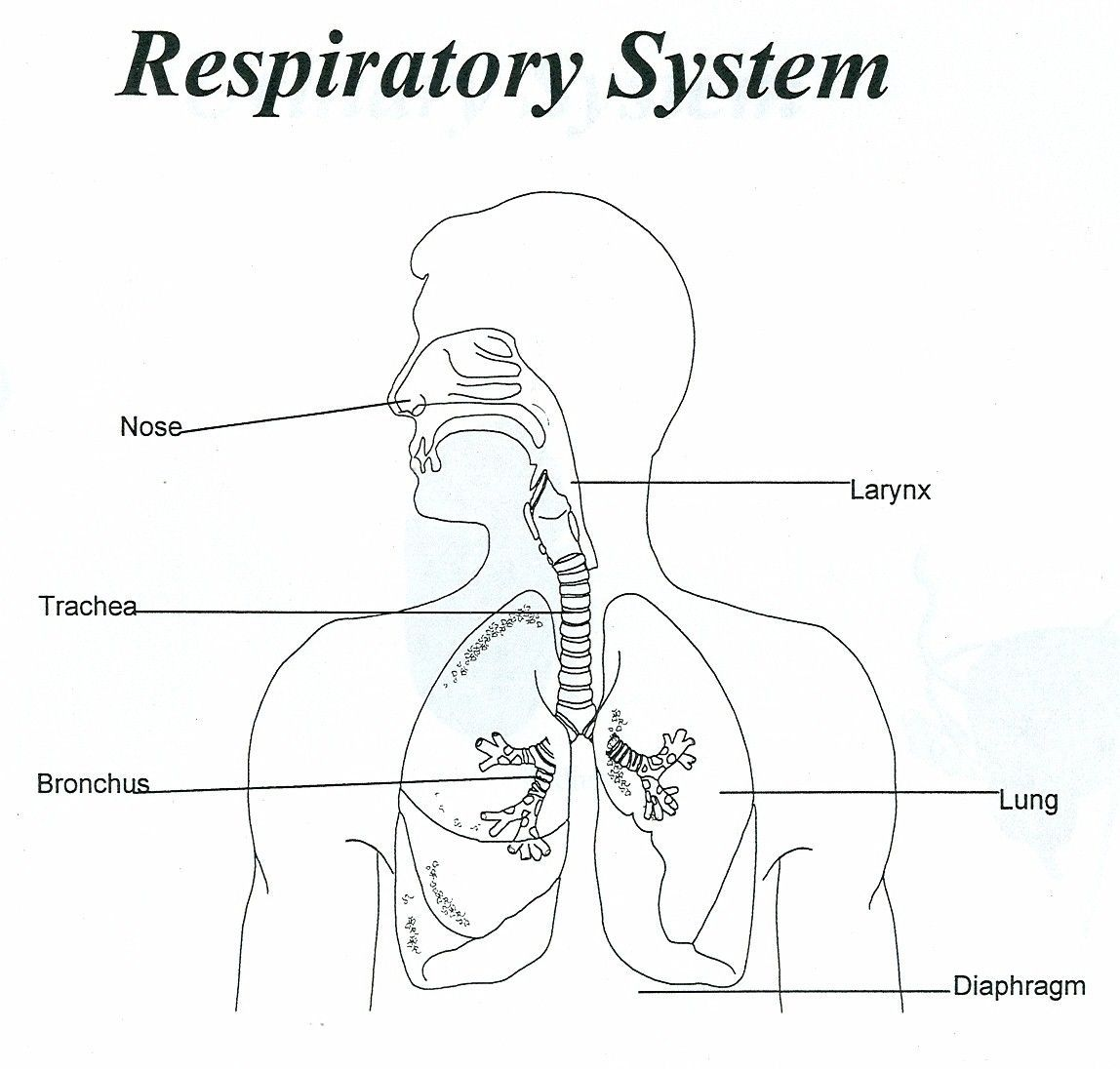 Download Or Print This Amazing Coloring Page Respiratory System Unlabeled Human Anatomy Diagram Human Respiratory System Respiratory System Respiratory