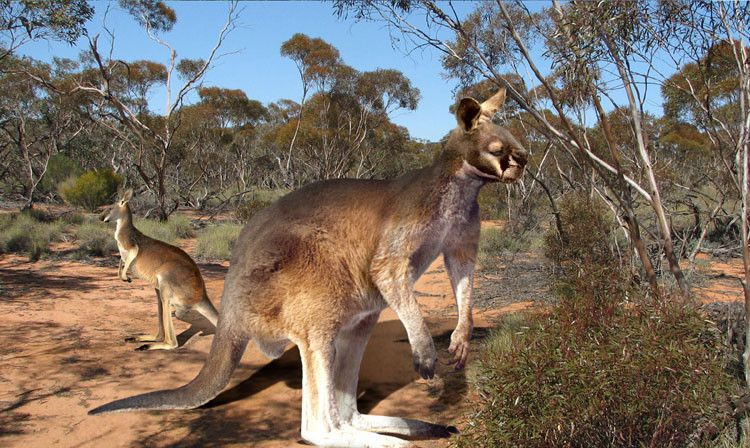 Procoptodon is a giant kangaroo that browsed the
